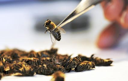 С чем связана массовая гибель пчел?